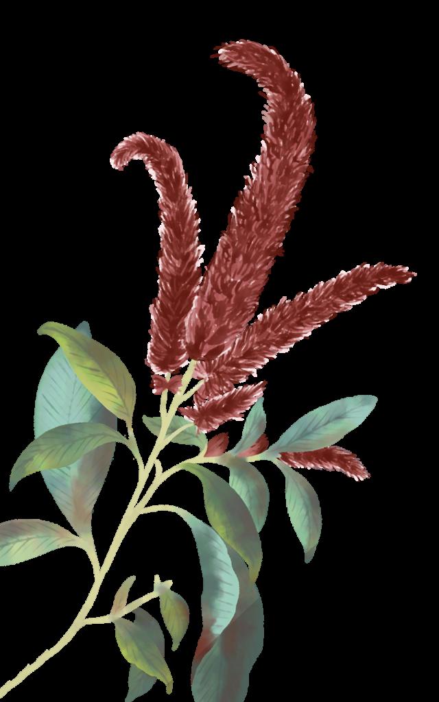 Illustrazione del fiore dell'amaranto