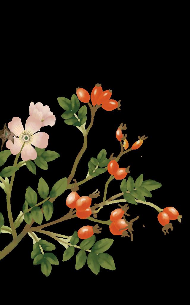 Illustrazione floreale di bacche di rosa canina